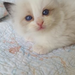 Available Ragdoll kitten for sale
